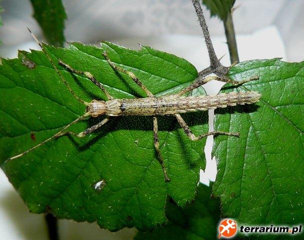Nimfa straszyka nowogwinejskiego (łac. Eurycantha calcarata)