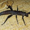 2 in 1 - nimfa & imago straszyka nowogwinejskiego (łac. Eurycantha calcarata)
