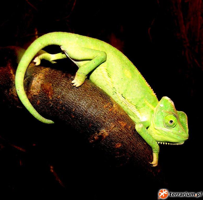 Kameleon Jemeński 3