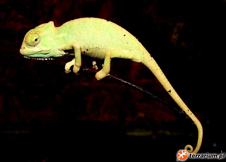 Kameleon Jemeński 2