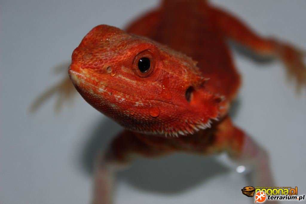 Hypo trans red leatherback