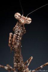Deroplatys lobata