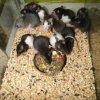 43154445 7 644x461 szczury kapturki dumbo rexy  rev002