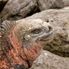 Galapagos  Amblyrhynchus cristatus