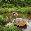 Galapagos - Giganty z Santa Cruz