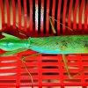 Prohierodula laticollis - samiec imago ;D