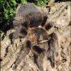 Brachypelma albopilosum - female