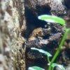 29. Pierwsze jajko Gonatodes albogularis fuscus