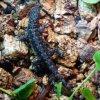27. Samiczka Gonatodes albogularis fuscus