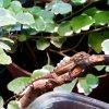 25. Prawie miesięczny Anolis gingivinus