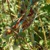 Furcifer pardalis Ambanja