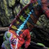 Furcifer pardalis Ambilobe Male