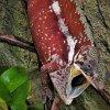 Furcifer pardalis Tamatave male