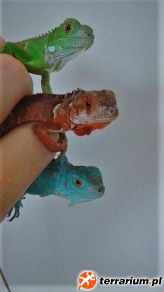 Tri colour iguanas