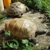 Żółwie stepowe na wybiegu