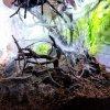 Chromatopelma cyaneopubescens L4