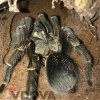Phormictopus sp. green gold carapax - Adult female (2)
