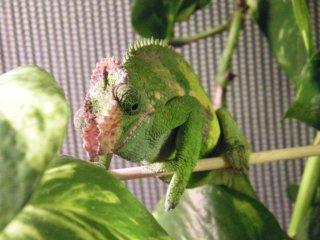 Kameleon Fishera