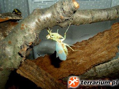 C. gemmatus