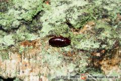 Załączony obraz: Eurycotis sp. Venezuela_2.jpg