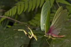 Załączony obraz: Fot. 1. Pokrój skrzydeł u Choeradodis rhombicollis. Fot. Piotr Naskręcki.jpg