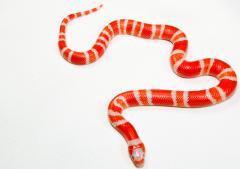 L.t.hondurensis Albino 2.jpg