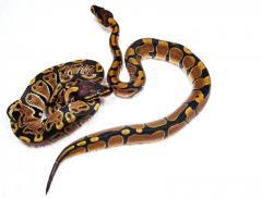 Python regius.jpg