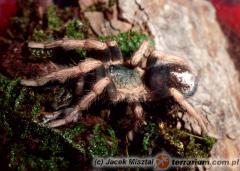 Załączony obraz: K. brunnipes samiec.jpg