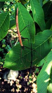 Załączony obraz: Screenshot_2020-02-28 Superinsect - hodowla owadów egzotycznych(1).png