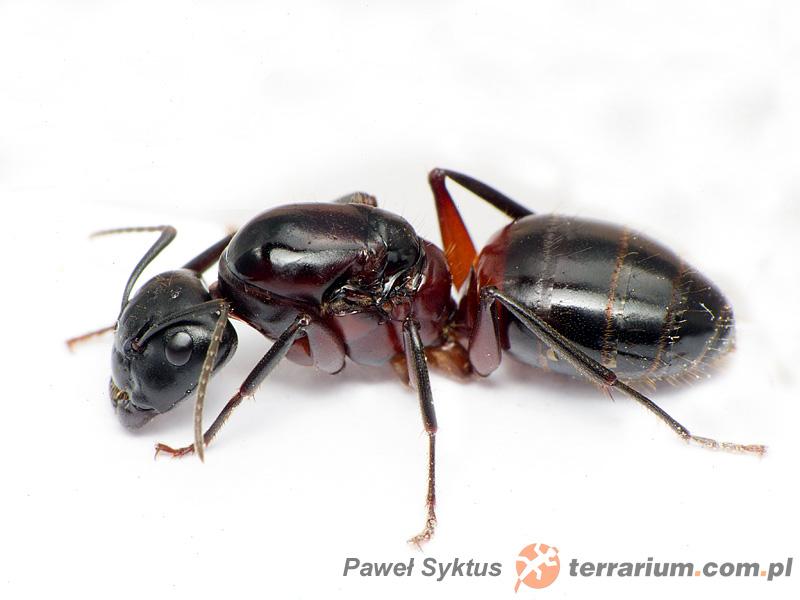 Camponotus herculeanus  AntWiki
