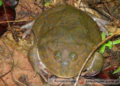 Załączony obraz: Lepidobatrachus laevis - żaba budgetta 1.jpg