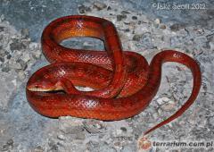 Załączony obraz: rosy-rat-snake.jpg