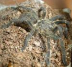 Kupie dorosla samice P.vespertinus - ostatni post przez sobieszko