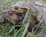 Żaba Byk (potwór) - ostatni post przez Pinky_