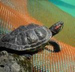 Żółw egipski Testudo kleinmanni (Lortet, 1883) - biologia i problemy ochrony - ostatni post przez Serpentin