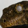 Rhacodactylus Leachianus Pine Island Troeger Line - ostatni post przez pychu