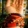 Cyriocosmus elegans i skorpiony - ostatni post przez mat_33